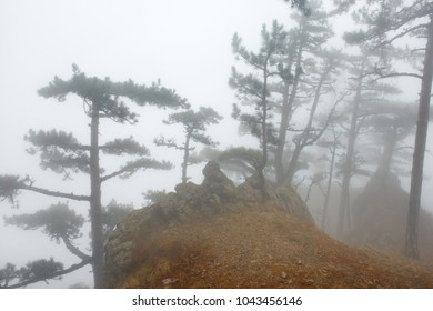 Mystery misty forest with big dark pine trees