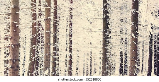 Mystery snow pine tree forest