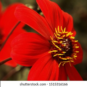 The Mystic Dahlia series were bred to display vivid colored blooms and tremendous heat tolerance.  This brilliant red bloom is set against dark mahogany leaves with plenty of pollinator power.
