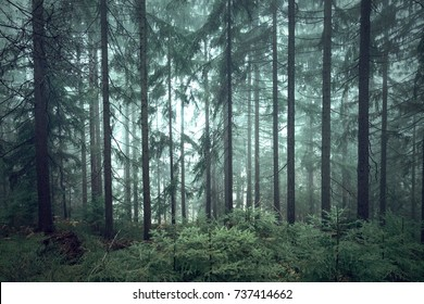 Mystic green seasonal foggy conifer forest trees.