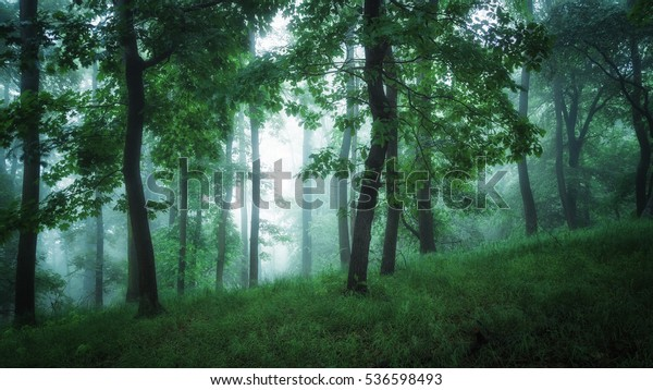Mystic lights in foggy beech forest