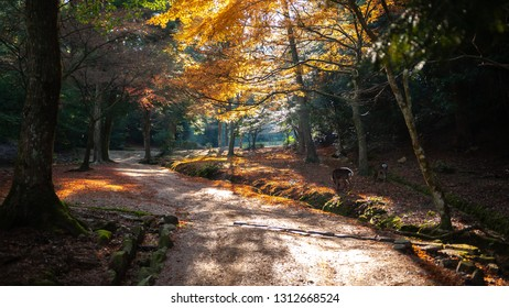 Mystical and artistic fall scene with vibrant ginkgo biloba trees seen in Hiroshima Prefecture's Miyajima in Japan with beautiful autumnal colours and deers roaming around.