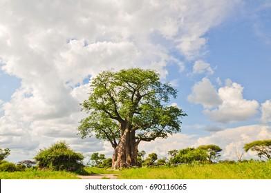 Mystical Baobab Tree