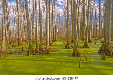 Mystical Colors in a Cypress Forest of Heron Pond in the Cache River Natural Area in Illinois