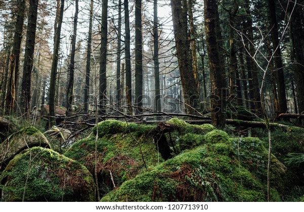 Mystical coniferous forest with stones and moss in the foreground