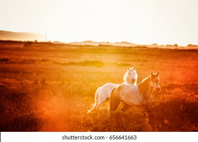 Mystical dreamy image of a grey and a white horse running in the countryside at sunset