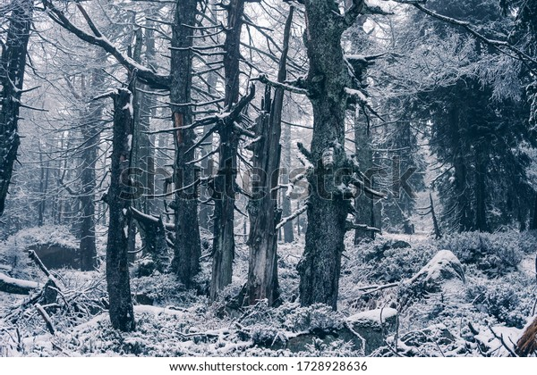 Mystical frosty forest with bony trees in the Harz National Park