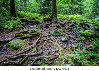 Mystical green forest with wet dark roots, tree trunks and stones.