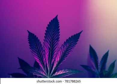 Mystical and Magical California Cannabis Plant Stain Fire OG