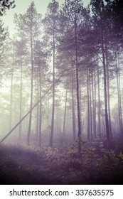 A mystical pine forest on a cold morning.