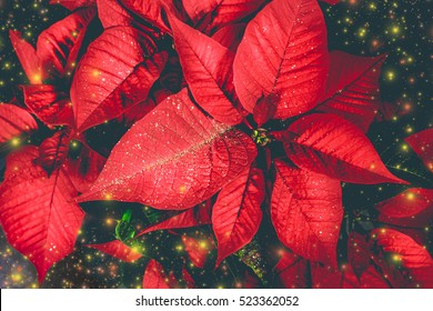 Mystical red poinsettia on black background.Christmas magic time
