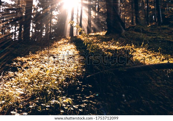 Mystical sunrise with sun rays in the forest