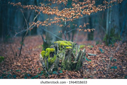 mystical woodlands treestump and a beech tree with weathered leaves