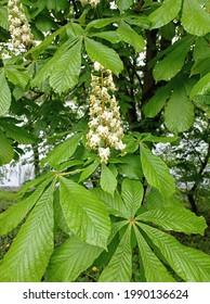 zbliżenie na kwitnący kwiat kasztanowca  - Shutterstock ID 1990136624
