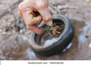 Naco, Ariz. / U.S. / September 10, 2016: A crawdad found in the San Pedro river during the first joint, public presentation held with Customs and Border Protection. 2238