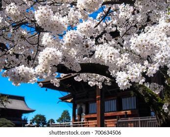 Nagano, Japan. April 2017. White cherry blossoms in bloom in Zenkoji Temple's gardens.
