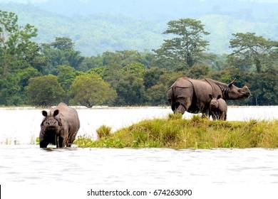 Nagaon, India, July10,2017: One horned rhinos take shelter on highland during flood  at Kaziranga National Park in Bagori range of Nagaon district of Assam,India