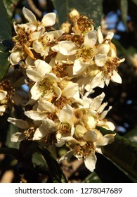 The Nagasakiwase Loquat Nespa tree flowers
