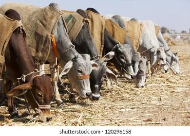 Nagaur Cattle Fair, Rajasthan, India