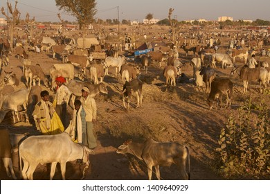 Nagaur, Rajasthan, India - February 15, 2008: Cattle tethered in rows at the annual livestock festival in Nagaur, Rajasthan, India.