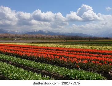 Nagoya, Japan - April 15 2019: Tourists come to see the beauty of tulip flowers in Nagoya, Japan.