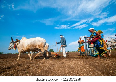 NAGPUR, MAHARASHTRA, INDIA 23 JUNE 2018 : Farmer's are Sowing Soybean seeds in field by traditional way where a plow with pair of oxen. Farmer using oxen for working in the field, Indian farming scene