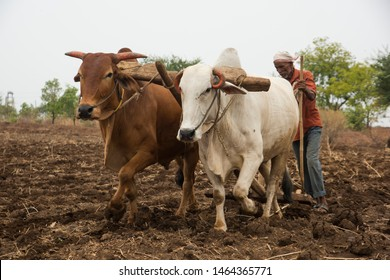 NAGPUR, MAHARASHTRA, INDIA 23 JUNE 2019 : Farmer's are plowing field in traditional way where a plow with pair of oxen, farmer using oxen for working in the field, An Indian farming scene.