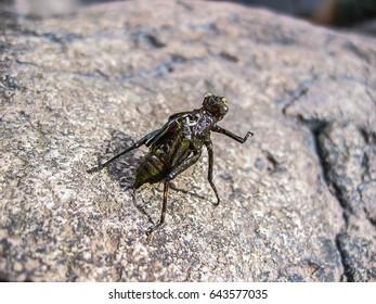 naiad dragonfly on stone