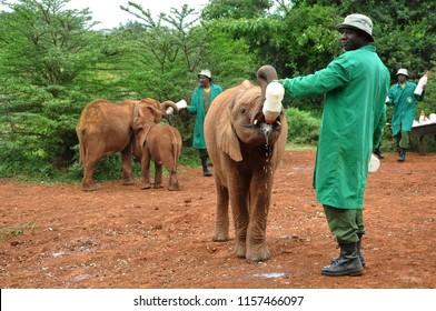 Nairobi, Kenya, September 2014. African ranger man feeding baby elephant calf from the bottle with milk at David Sheldrick Wildlife Trust