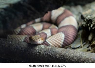 Naja nubiae. The Nubian spitting cobra is a species of spitting cobra native to Africa.