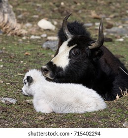 Nak - a female of yak - with her calf in a meadow of the upper Langtang Khola Valley. Langtang National Park, Nepal.