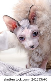 naked Canadian sphynx cat with  luxurious fur and wool close-up
