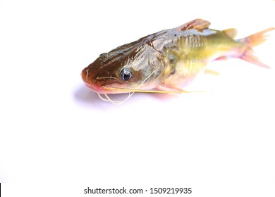 Naked catfishes, Rita rita is a species of bagrid catfish that is found across southern Asia.