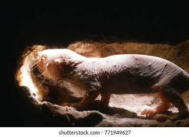 Naked molerat Heterocephalus glaber eating tuber in undeground tunnel