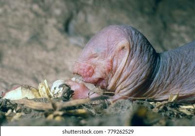 Naked molerat juvenile feeding underground using its paws to hold the food