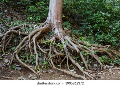 naked roots of tree on the trail of mount takao, tokyo, japan