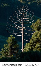 A naked tree pine in the forest at a sunny day. Absence concept.
