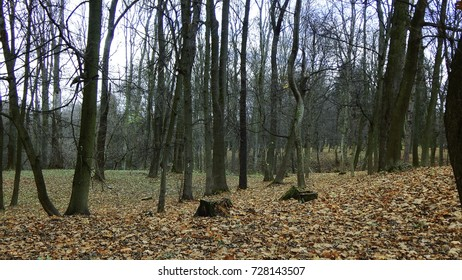 Naked trees with yellow leaves in autumn forest. Autumn walk and relax.