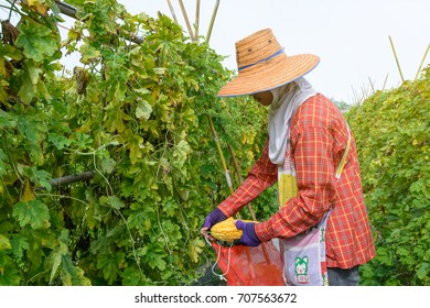 Nakhon Pathom, Thailand - 11 August 2017: Farmers are harvesting the bitter gourd fruits in the field