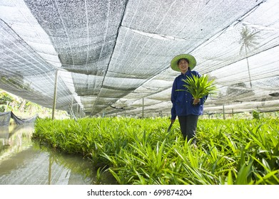 Nakhon Pathom ,Thailand - March 27, 2014:Farmer cutting Pandan leaves at Pandan Garden Sam Phran District, Nakhon Pathom Province , Thailand
