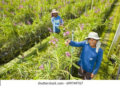 Nakhon Pathom ,Thailand - March 28, 2014:Farmer working and holding orchid in orchid farm at Sam Phran District, Nakhon Pathom Province , Thailand