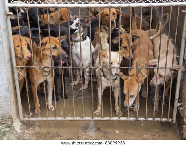 NAKHON PHANOM, THAILAND - AUG 19: Thai police rescued more than 1000 dogs on August 13 destined for Vietnamese slaughterhouses in Nakhon Phanom, Thailand on August 19,2011.