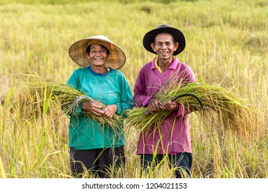 Nakhon phanom-THAILAND 10 Oct 2018 : Happy couple Farmers woking harvest rice fields,in Banpheng Nakhon phanom  Thailand