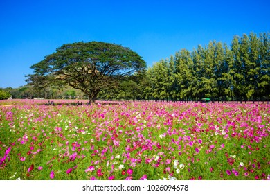 NAKHON RATCHASIMA, THAILAND - DECEMBER 29, 2016: beautiful pink cosmos flowers blossoming in the field at Jim Thompson Farm.