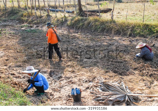 NAKHON RATCHASIMA, THAILAND - JAN14 : Unidentified female live in Northeast of Thailand digging for shellfish during the dry season at Nakhon Ratchasima province, Thailand on JANUARY14, 2009