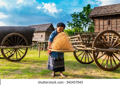 NAKHON RATCHASIMA, THAILAND - OCTOBER 30: Undefined senior farmers are working with rice around the rice field at the evening on October 30,2015 in Nakhon ratchasima, Thailand.
