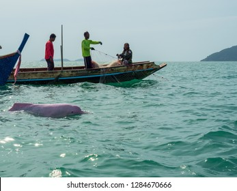Nakhon Sri Thammarat, Thailand -  August 27, 2018: Pink dolphins swim beside the boat at Khanom.