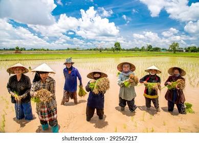NAKONPRANOM, THAILAND. June 8, 2014.Thai Women Farmers transplant rice seedlings on the plot field at Nakonpranom Province, Thailand