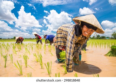 NAKONPRANOM, THAILAND. JUNE 8, 2014.Thai Women Farmers transplant rice seedlings on the plot field at Nakonpranom Province, Thailand