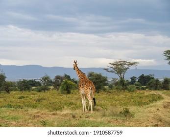 Nakuru, Kenya, Africa - February 24, 2020: Rothschild's Giraffes roaming the african savannah in Lake Nakuru, Kenya, Africa